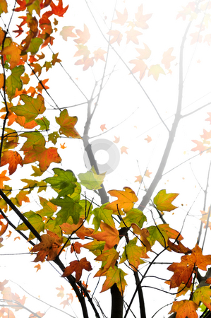 Fall maple leaves background stock photo, Background of fall maple leaves and tree branches by Elena Elisseeva