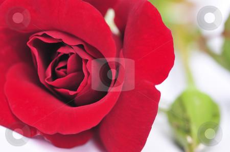 Red rose flower on white background stock photo, Macro of red rose flower isolated on white background by Elena Elisseeva
