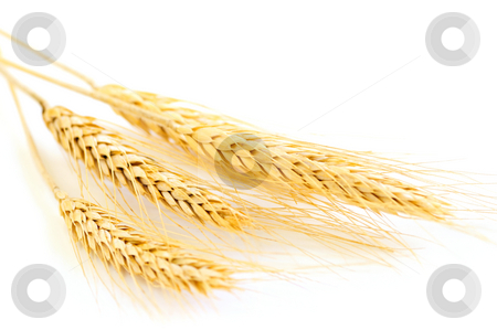 Isolated wheat ears stock photo, Stalks of golden wheat grain isolated on white background by Elena Elisseeva