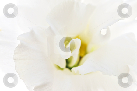 Isolated white flower stock photo, Flower called prairie rose isolated on white background by Elena Elisseeva