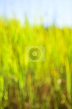 Green background stock photo, Green natural background of out of focus tall grass or bokeh by Elena Elisseeva