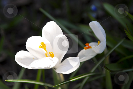Crocus flower stock photo, Closeup of white crocus flower with green background by Elena Elisseeva