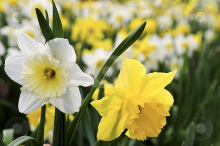 Daffodils stock photo, Field of blooming daffodils in spring park by Elena Elisseeva