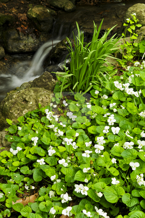 Spring flowers near creek stock photo, White canada violets blooming in a spring forest near creek by Elena Elisseeva