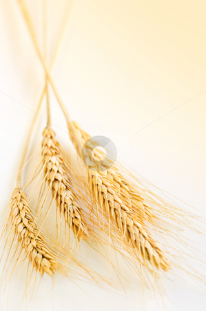 Wheat ears stock photo, Ripe wheat ears close up with copy space by Elena Elisseeva