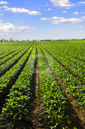Rows of turnip plants in a field stock photo, Rows of turnip plants in a cultivated farmers field by Elena Elisseeva