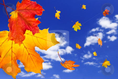 Fall maple leaves background stock photo, Fall maple leaves falling on blue sky background by Elena Elisseeva