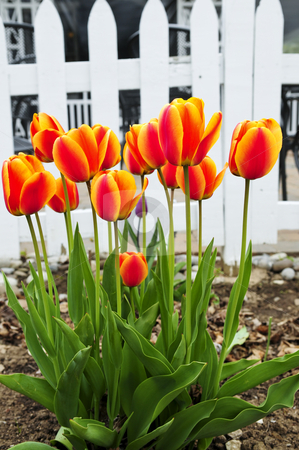 Tulips in spring garden stock photo, Bright blooming tulips growing in spring garden by Elena Elisseeva