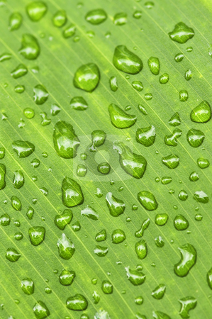 Green leaf background with raindrops stock photo, Natural background of green plant leaf with raindrops by Elena Elisseeva