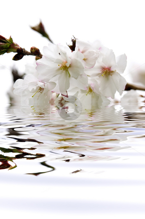 Cherry blossom in water stock photo, Branch of oriental flowering cherry with blossoms submerged in water by Elena Elisseeva