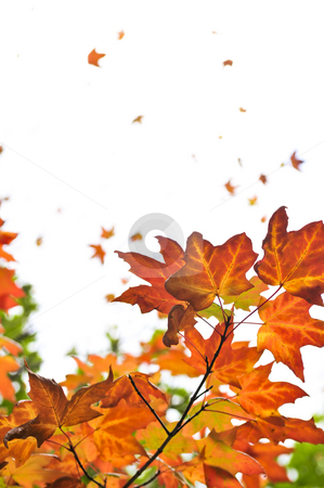 Fall maple leaves background stock photo, Background of fall maple leaves and tree branches by Elena Elisseeva