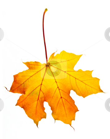 Fall maple leaf stock photo, One fall maple leaf isolated on white background by Elena Elisseeva