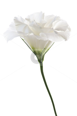 Isolated white flower stock photo, Flower called prairie rose isolated on white background by Elena Elisseeva