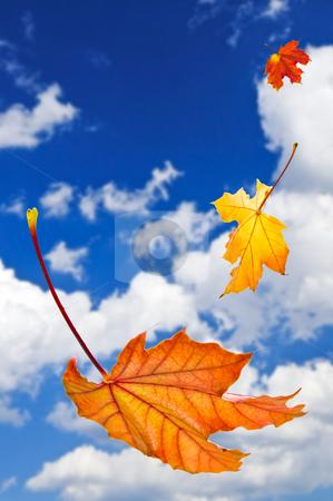 Fall maple leaves background stock photo, Fall maple leaves falling on blue sky background by Elena Elisseeva