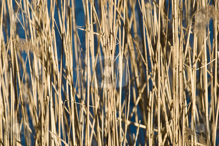 Reed paterns stock photo, A background pattern with reeds and a frozen lake as blue background by Alexander L?