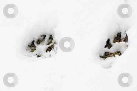 Footsteps in the snow stock photo, Two footsteps of a big dog in a snowy background by Alexander L?