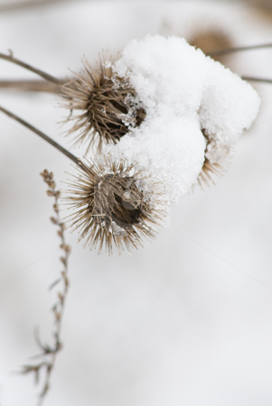 Snowy vegetation stock photo, Two burrs covered with snow in a dreamy winter landscape by Alexander L?