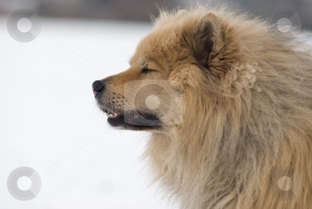 What a day stock photo, A brown eurasier dog with closed eyes looking like he had a hard day in a snowy background by Alexander L?