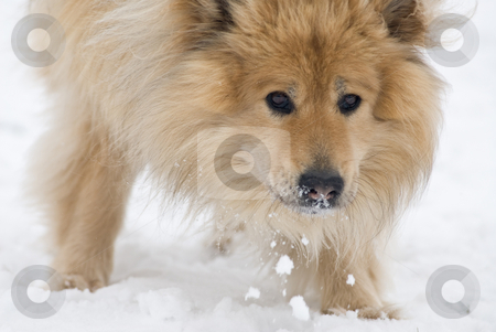 Snow eating dog stock photo, A brown eurasier dog eating snow while looking in the camera by Alexander L?