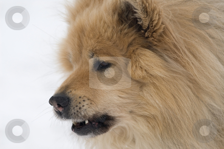 Cool dog stock photo, A cheeky looking brown eurasier dog with his mouth open on a snowy background by Alexander L?