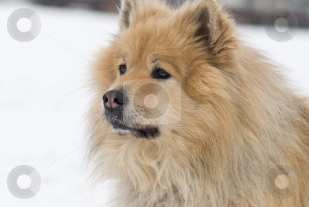 Advertent dog stock photo, A brown eurasier dog looking worried at something distant in a snowy background by Alexander L?