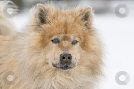 Posing stock photo, A worried looking brown eurasier dog looking right into the camera in a snowy landscape by Alexander L?