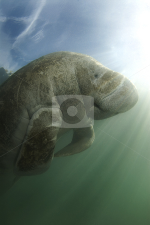 Manatee and Sky stock photo, An endangered Florida manatee (Trichechus manatus latirostrus) from below in the springs of Crystal River, Florida by A Cotton Photo