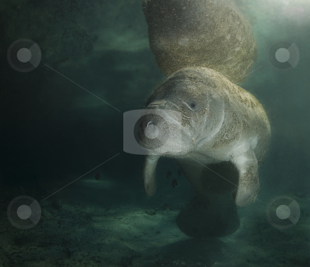 Manatee Reflection Portrait stock photo, A Florida manatee (Trichechus manatus latirostrus) reflects off the surface of the placid water in the springs of Crystal River, Florida. by A Cotton Photo