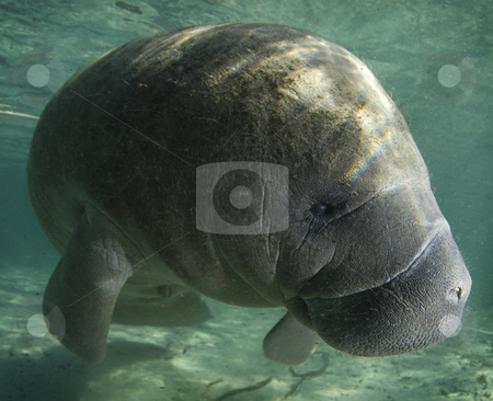 Manatee Profile stock photo, A Florida manatee (Trichechus manatus latirostrus) shows his good side in the springs of Crystal River, Florida by A Cotton Photo
