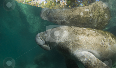 Manatee Reflection Left Side stock photo, A Florida manatee (Trichechus manatus latirostrus) reflects off the surface of the placid water in the springs of Crystal River, Florida. by A Cotton Photo
