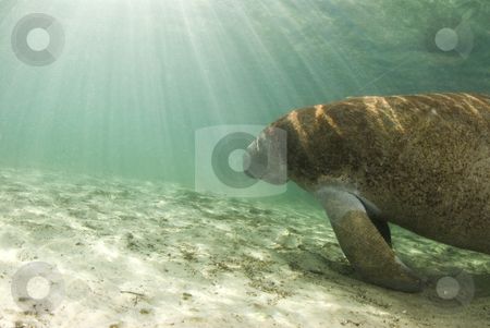 Manatee with Sunrays stock photo, An algae covered Manatee (Trichechus manatus latirostrus) swims towards the shining sun in the springs of Crystal River, Florida by A Cotton Photo