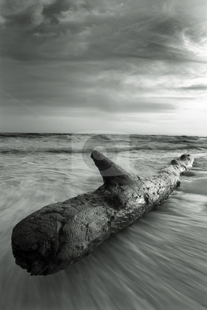 Black and White Driftwood stock photo, Black and white image of a  large beached log on the gulf coast of Florida. by A Cotton Photo