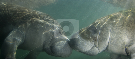 Kissing Manatees stock photo, Two endangered Florida Manatee (Trichechus manatus latirostrus) nose to nose as the sun shines down on them in the springs of Crystal River, Florida by A Cotton Photo