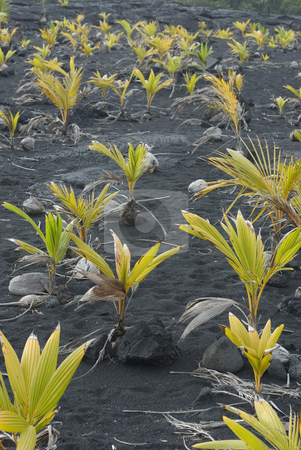 Coconut Plants stock photo, Coconuts sprouting in the dark volcanic soil of Hawaii???s Big Island by Stephen Gibson