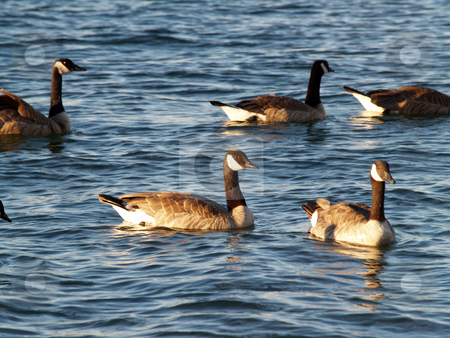 A few Canadian Geese swimming on lake stock photo, A couple Wild geese swimming on lake by Jeff Cleveland