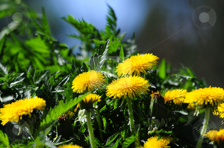 Weed stock photo, Weed and yellow Taraxacum with soft backgound by Magnus Johansson