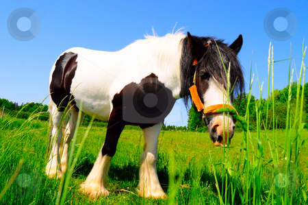 Black and white beauty stock photo, Horse in grass field by Magnus Johansson