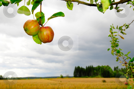 Countryside fruit stock photo, Appletree with two red apples and countryside in dof background by Magnus Johansson