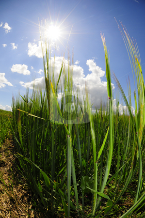 Frog perspective field stock photo, View from a frogs perspective of oat field by Magnus Johansson
