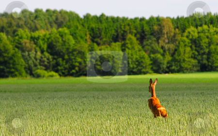 Jumping in oat field stock photo, Deer is jumping in an oat field by Magnus Johansson