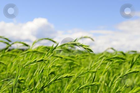 Green wheat stock photo, Closeup of wheat field by Magnus Johansson