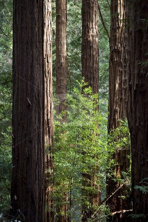Among giants stock photo, Group of Coast Redwoods, Sequoia sempervirens, Muir Woods National Monument, Marin County, California, United States by mdphot