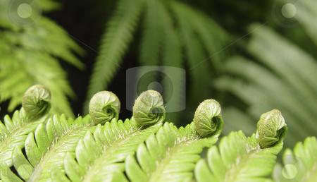 Ferns stock photo, Ferns, birth of a fern leaf by mdphot