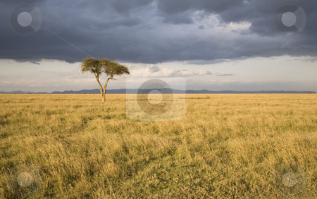 Lonely Tree stock photo, Lonely Tree, Sweetwaters Game Reserve, Republic of Kenya, Eastern Africa by mdphot
