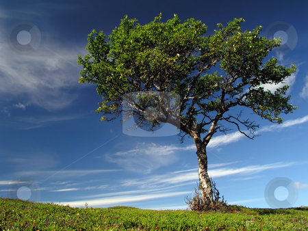 Lonely tree stock photo, A lonely tree in the mountain by Ingvar Bjork