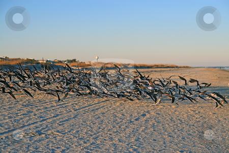 Seabirds stock photo, Flock of seabirds swarming over beach on Tybee Island Georgia beach by Jack Schiffer
