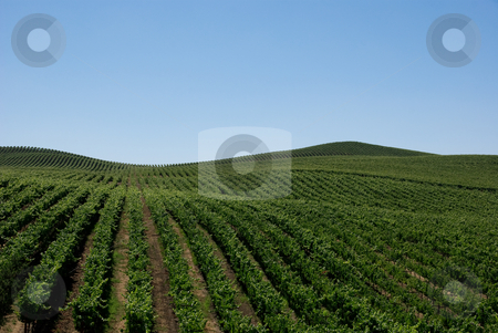 Grape Vines stock photo, Rolling hills of nothing but grape vines by Randy Miramontez