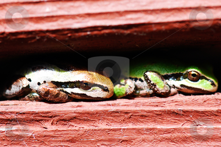 Two Frogs stock photo, Close-up of two frogs resting toe-to-tail in a stucco railing by Orange Line Media