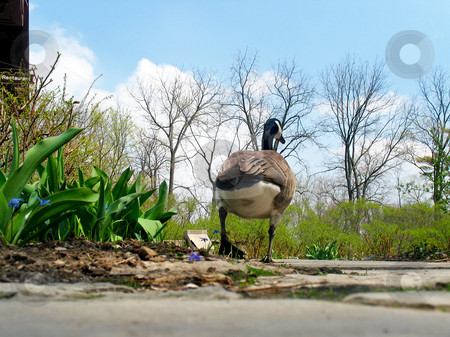 Dry Duck stock photo, Ground level view of a duck walking away from the camera. Horizontal shot framed by a blue sky by Orange Line Media