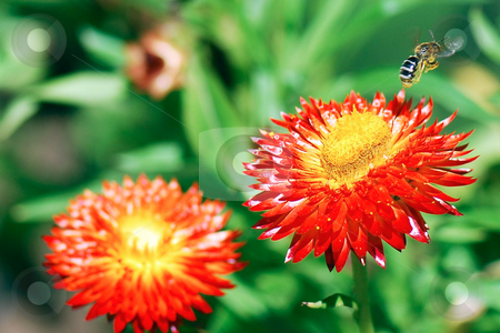 Bee in Flight stock photo, Macro shot of a bee taking off from a red and gold strawflower. Green background is blurred by depth of field. by Orange Line Media